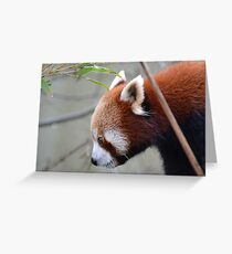 Red panda up close Greeting Card