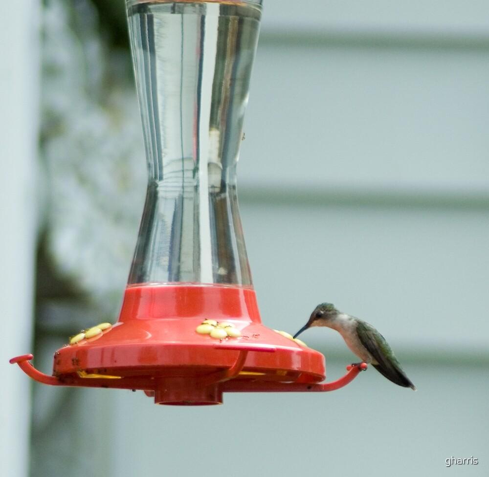 Hummingbird Feeding by gharris