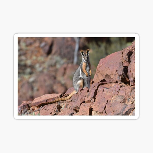 Yellow-footed Rock Wallaby Sticker