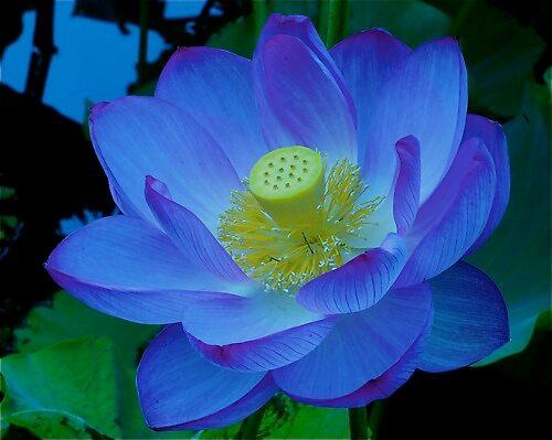 lotus bliss  by alfarman