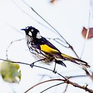New Holland Honeyeater by Paul Weston