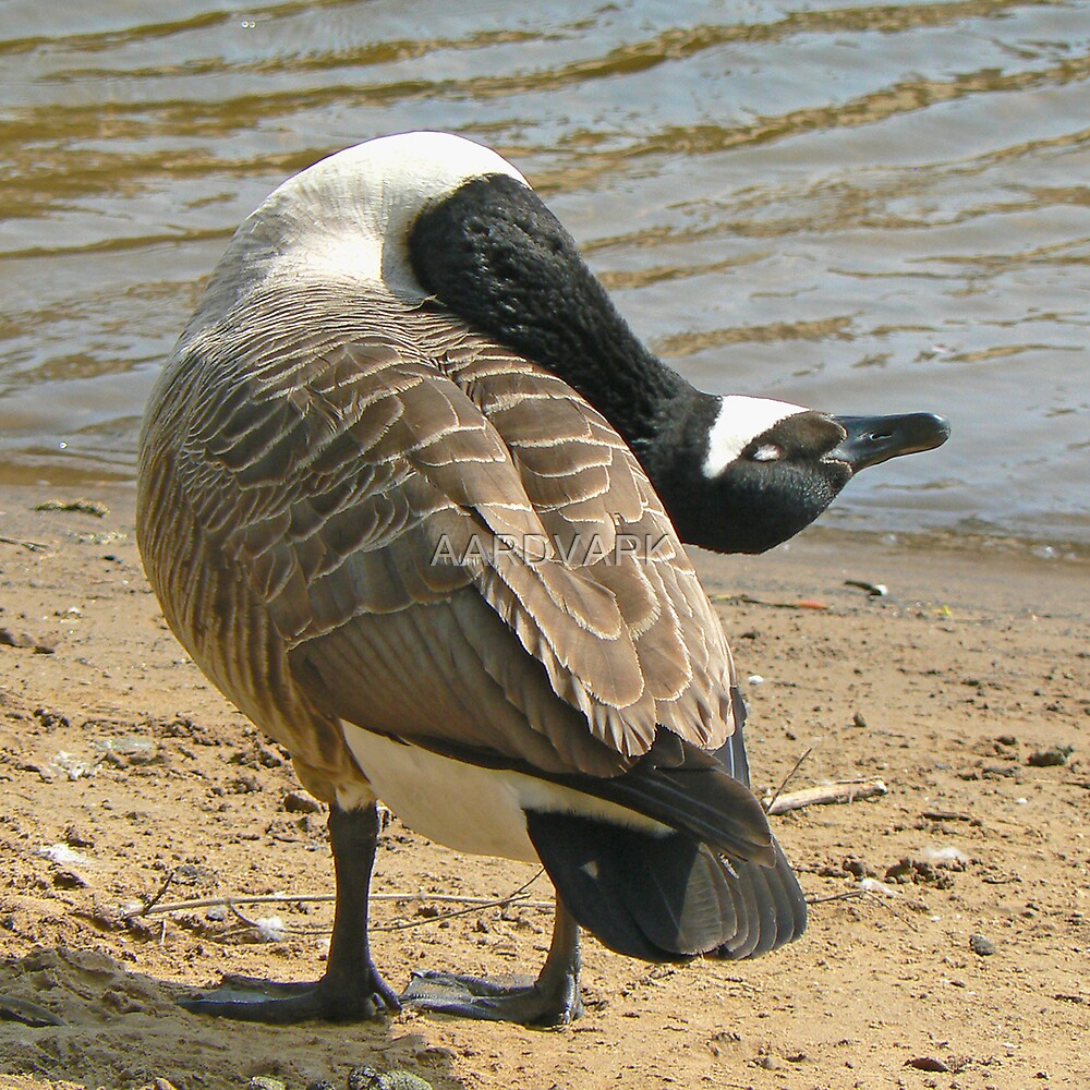 A Canada Goose by AARDVARK