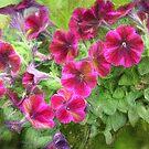 An Abundance of Petunias by Eileen McVey