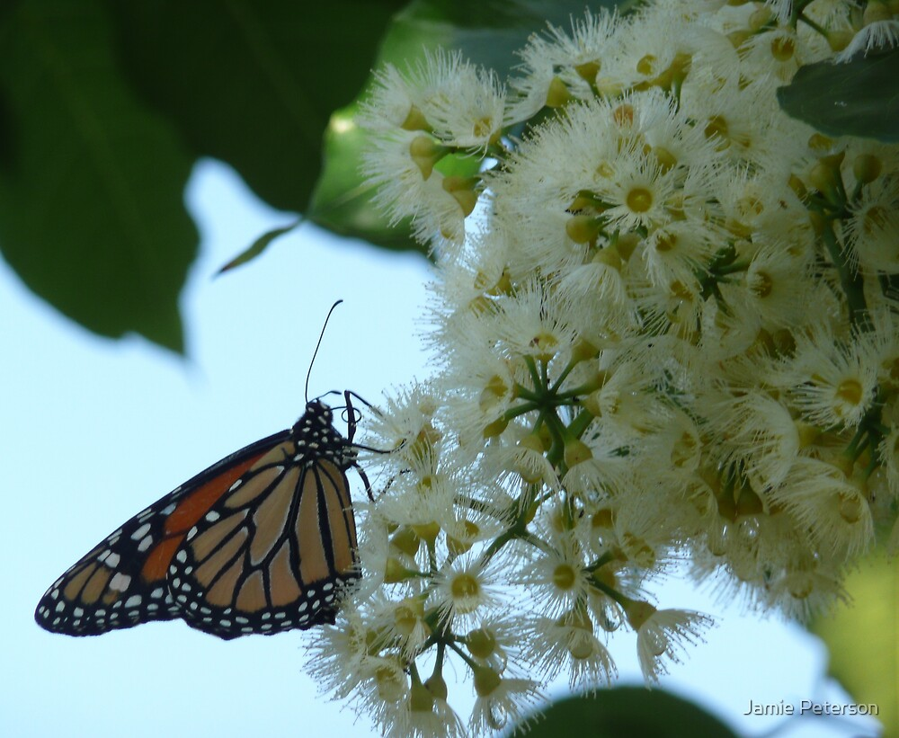 Butterfly and Blossum by Jamie Peterson