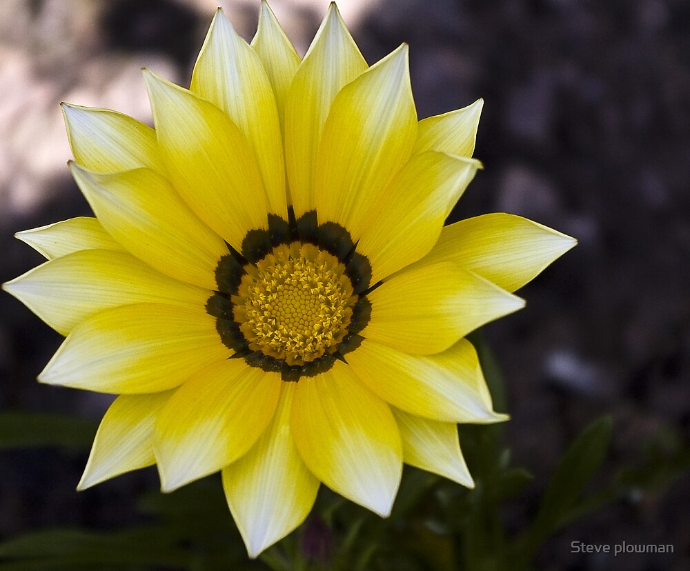 Yellow Gazania by Steve plowman