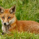 Fox cub by Ann Heffron