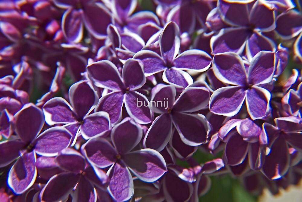 Deep Purple Vari Lilacs by bunnij