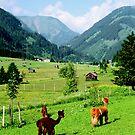 Tirol Llamas by kevin smith  skystudiohawaii