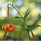 Orange Tiger Lily with New Buds by T.J. Martin