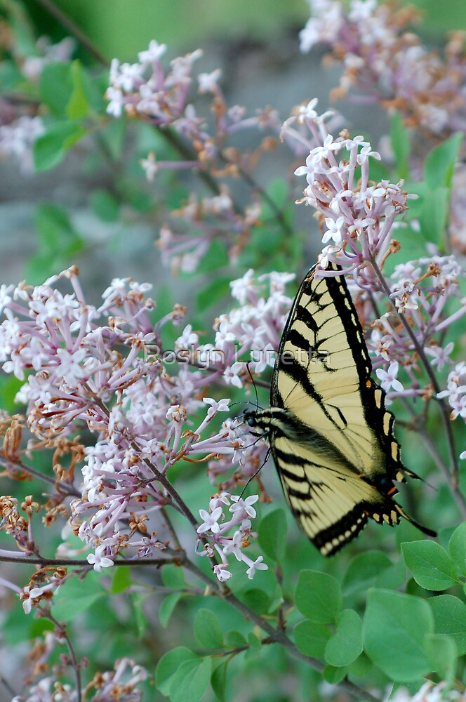 toasted swallowtail by Roslyn Lunetta