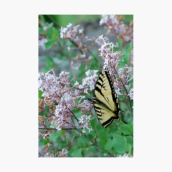 toasted swallowtail Photographic Print
