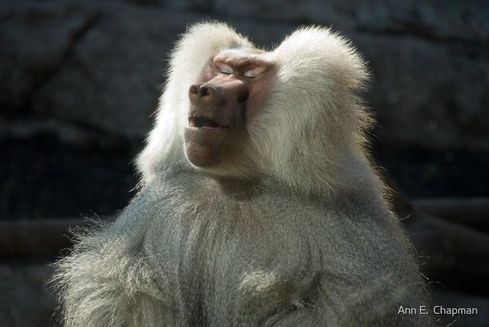 Meditative Baboon by Ann E.  Chapman