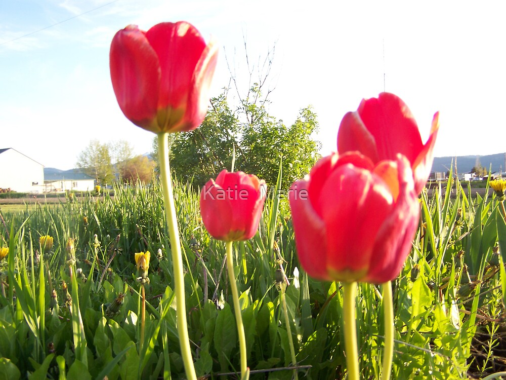 Red Tulip's by Katie  Marie
