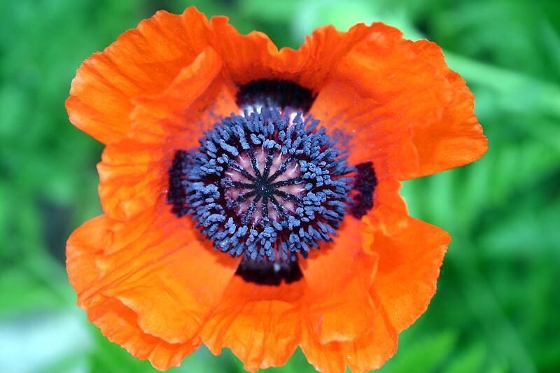 Pure Poppy by Photoflirt