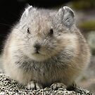 Pika by Betsy  Seeton