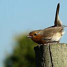 The Red Red Robin, bob, bob, bobbin' by jesika