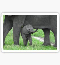 Baby African Elephant with mother Sticker