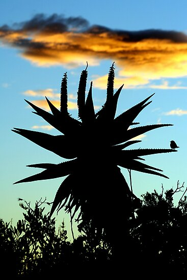 A Splash of Aloe by Chris Coetzee