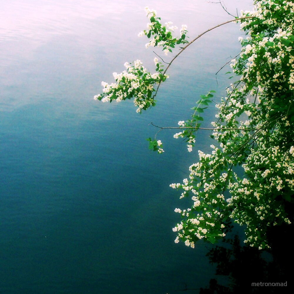 White Flowers Over Water by metronomad