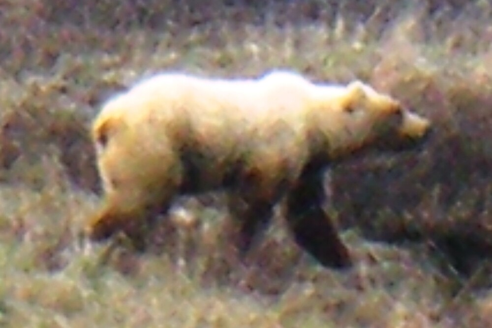 Grizzly Bear by bangogirl