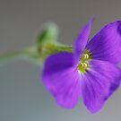 Blue flower by Ann Heffron