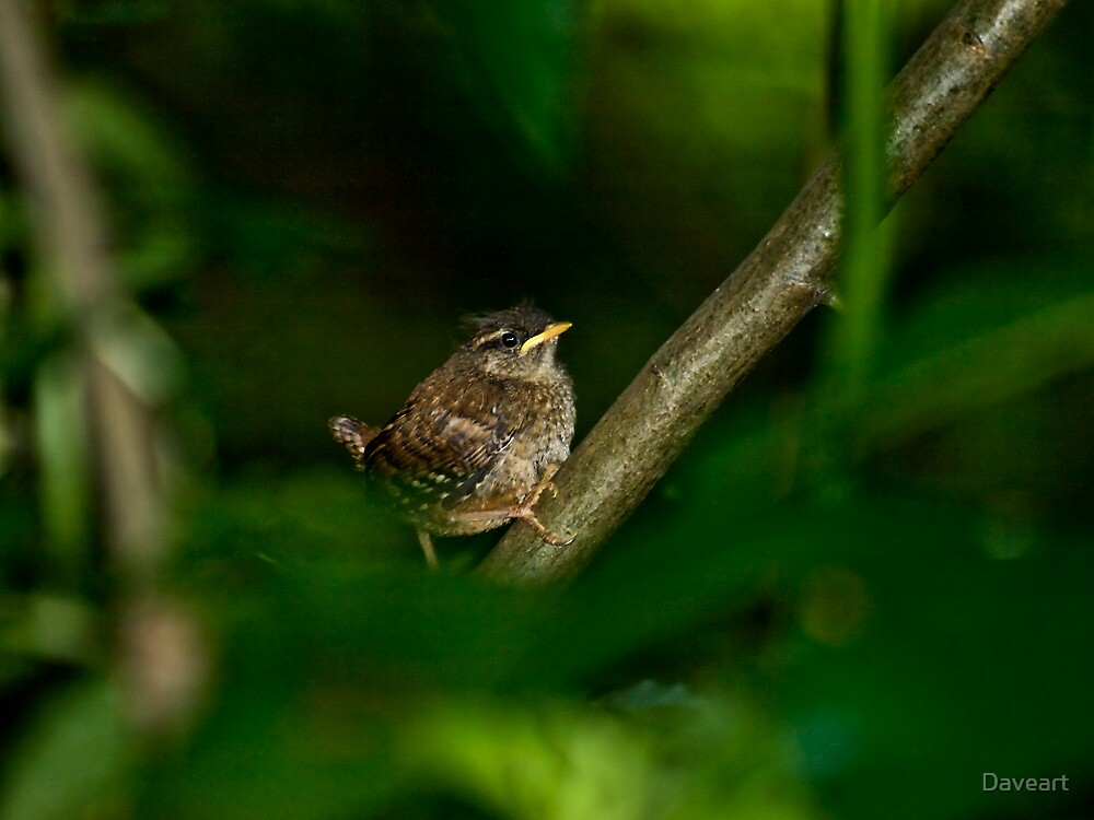 Young fledged Wren  by Daveart