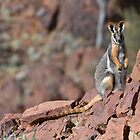 Yellow-footed Rock Wallaby by quentinjlang