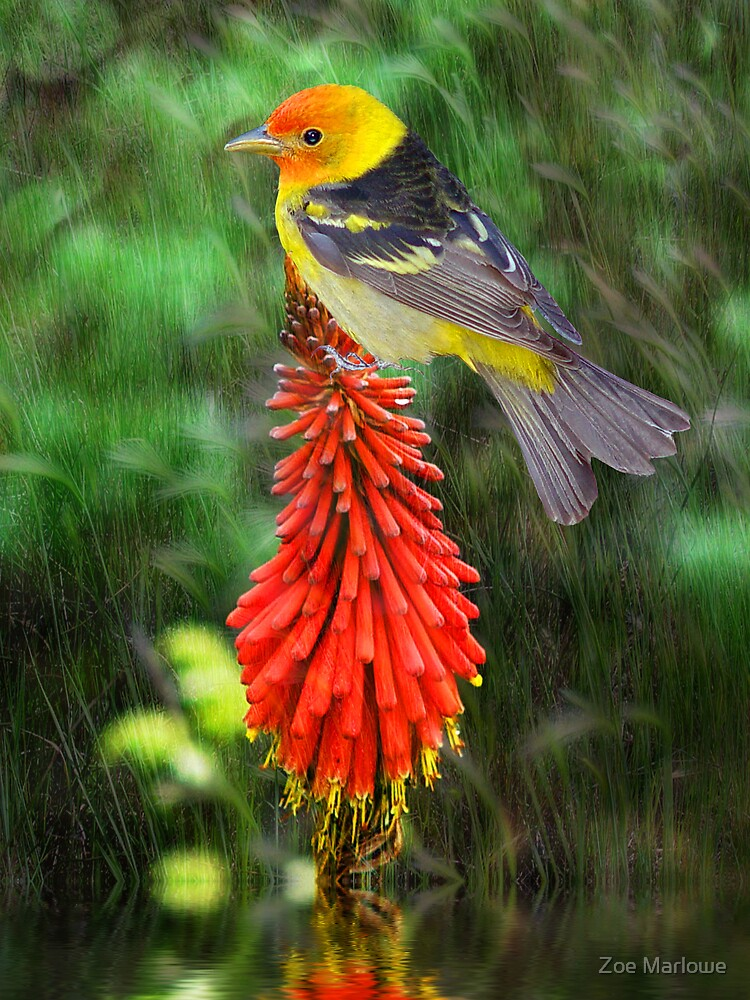 Tanager Meets Red Hot Poker by Zoe Marlowe