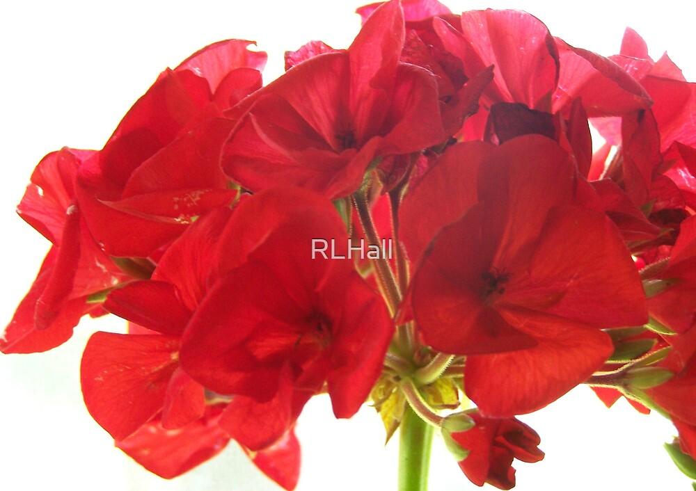 Red Geranium by RLHall