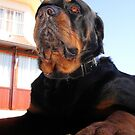 Photograph Portrait Of A Handsome Male Rottweiler Dog by taiche