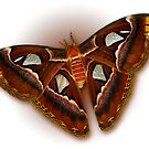 Atlas Moth On White by Bonnie T.  Barry
