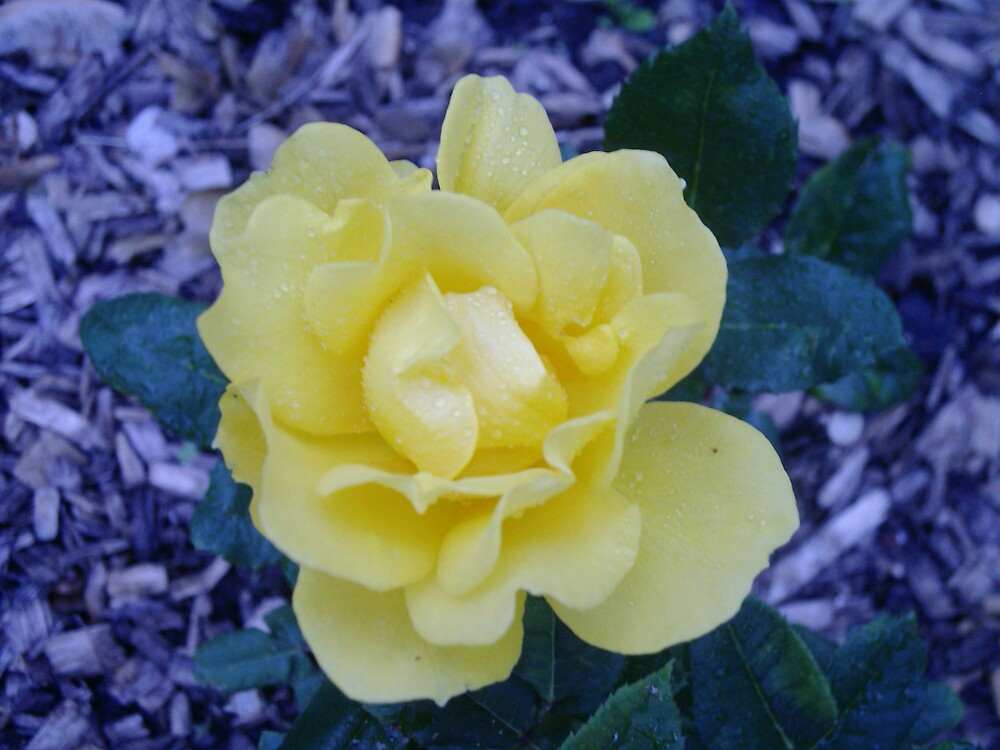 yellow rose by chrislaf1972