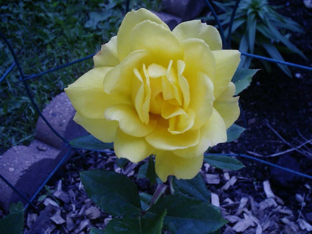 yellow rose 2 by chrislaf1972