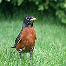 American Robin by Kimberly Palmer