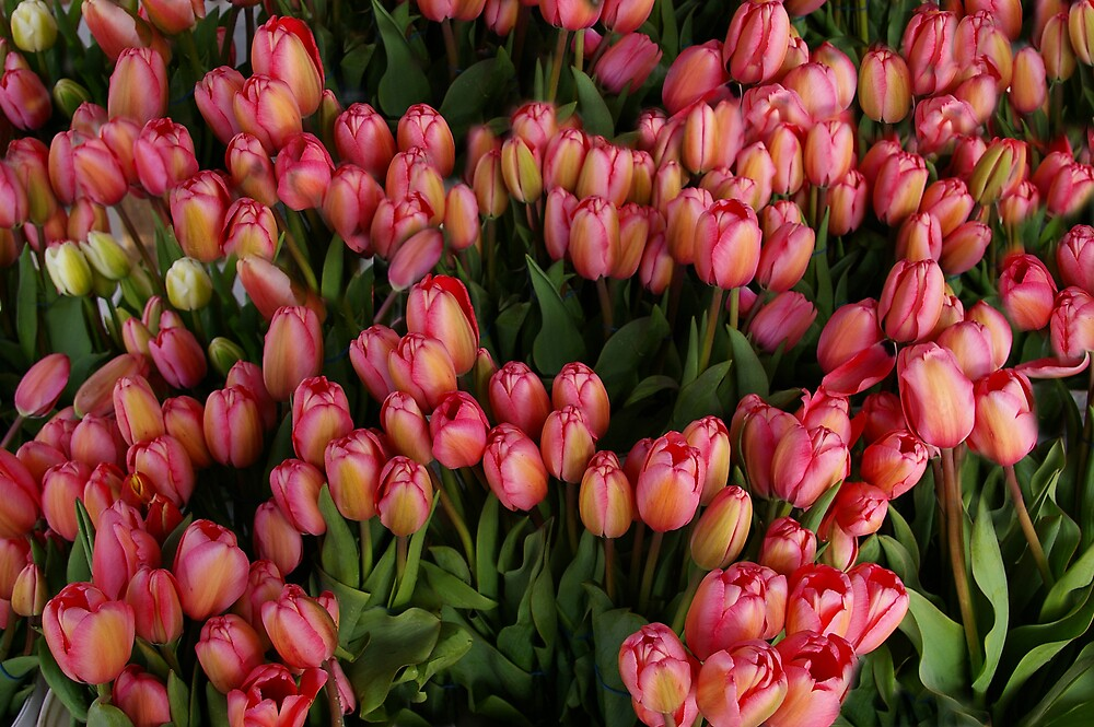 Tulip Time by Tom  Reynen