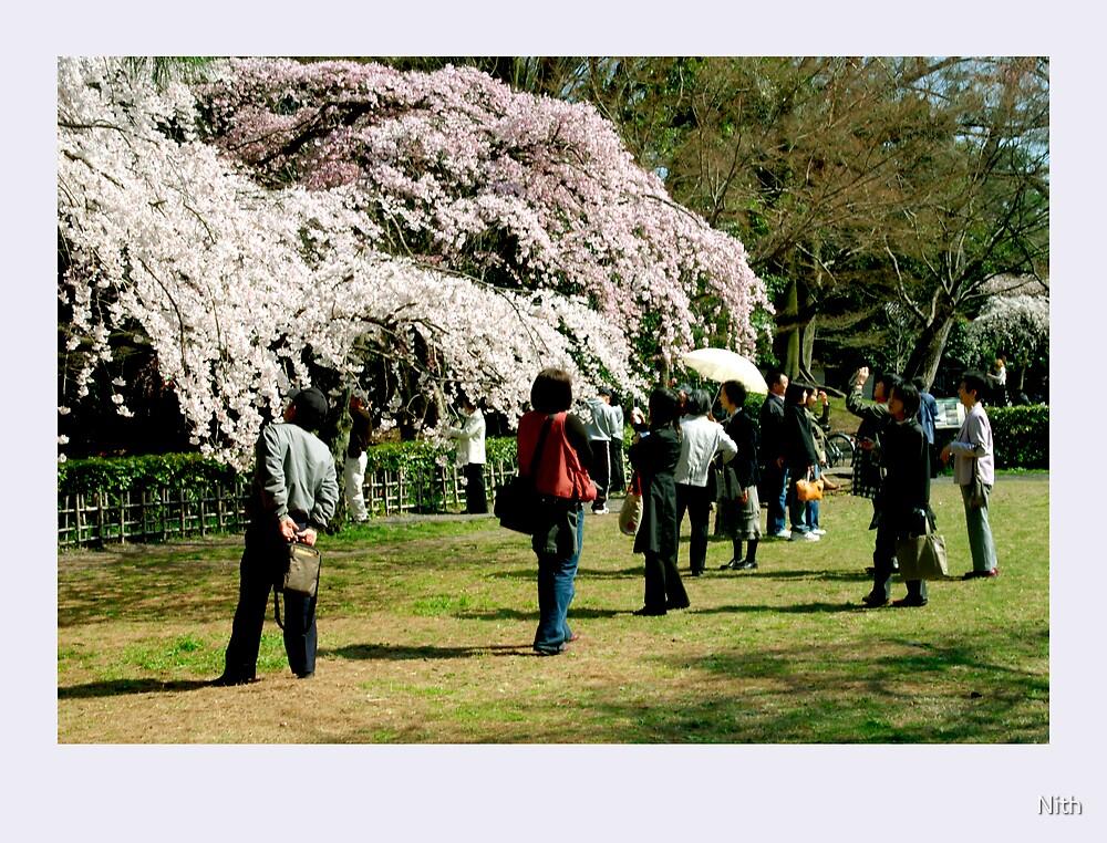 Sakura Watching  by Nith