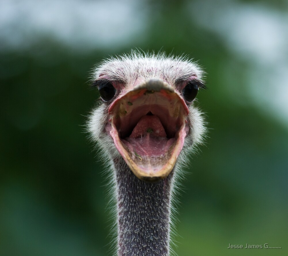 Quot Angry Ostrich Quot By Jesse James G Redbubble