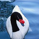 Black Neck Swan by Sarah McKoy