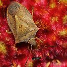 Spined Soldier Bug on Staghorn Sumac flower by Kane Slater