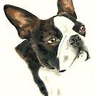 Boston Terrier by Penny Edwardes