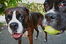 Let's Play! -Boxer Dogs Series- by Evita
