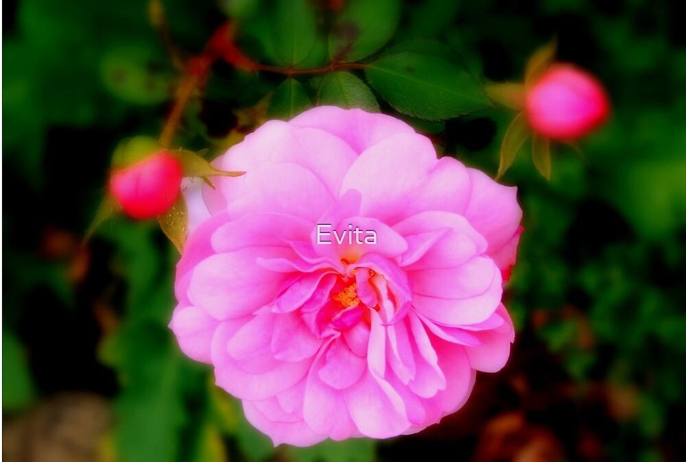 Pink by Evita