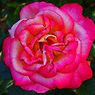 Pinke Rose von Evita