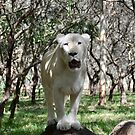 White Lioness by Julie Masters