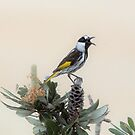 White Cheeked Honey Eater  by cs-cookie