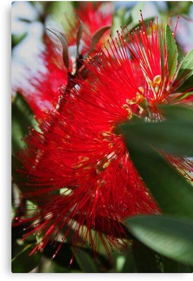 Red Bottlebrush by Evita