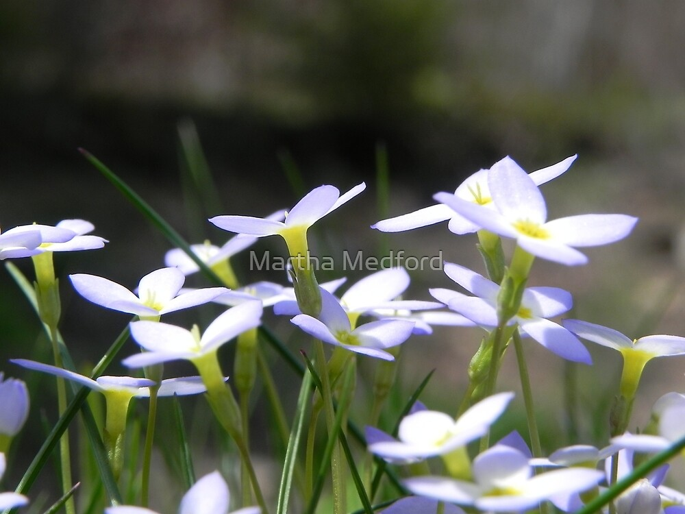 Sun Kissed Bluets by Martha Medford
