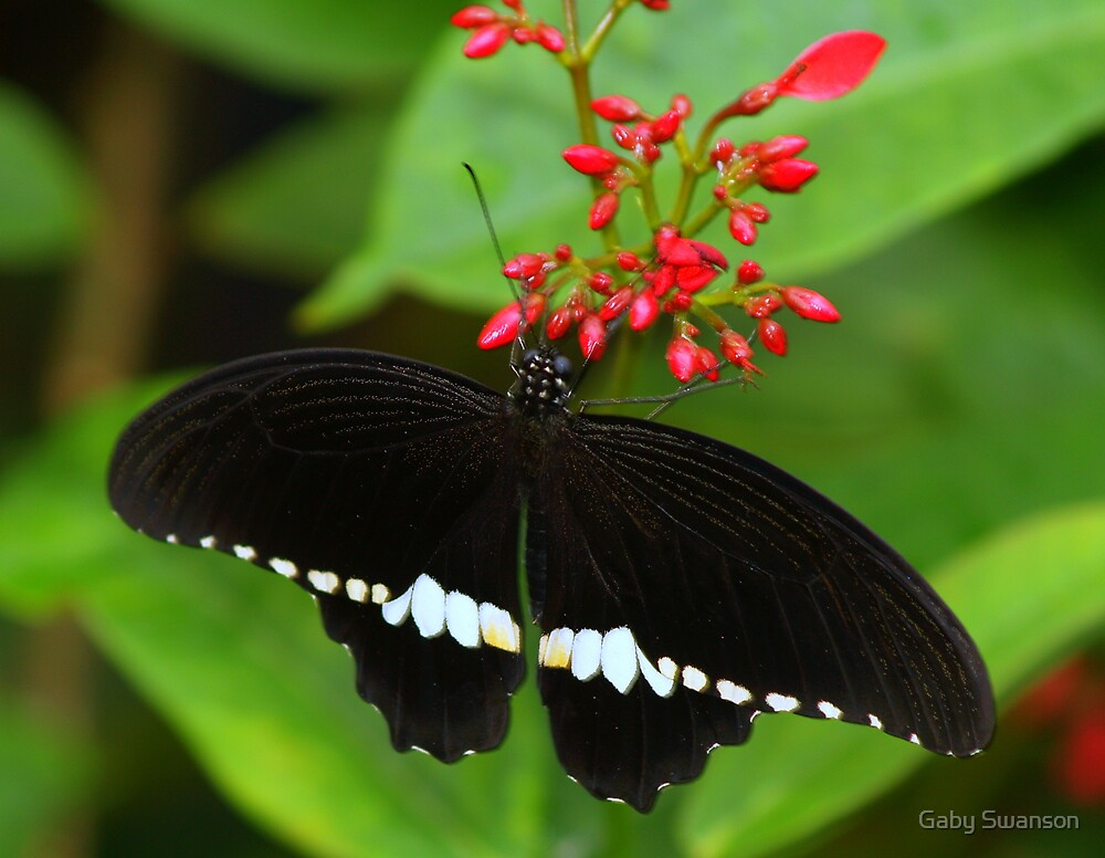 Black and White Butterfly by Gabriele Swanson