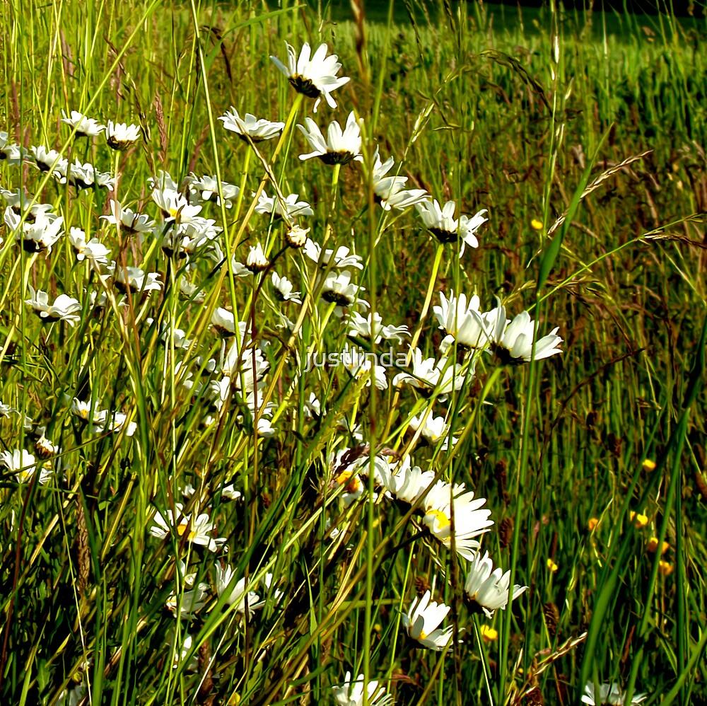Daisys by justlinda