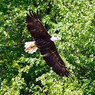The Majestic Bald Eagle by patti4glory